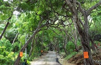 Dikkat! Dünyanın En Zehirli Ağacı! Ona Dokunan Herkes Ölüyor