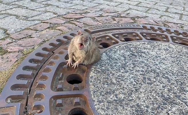 Rögar kapağına sıkışan aşırı kilolu fare kurtarıldı