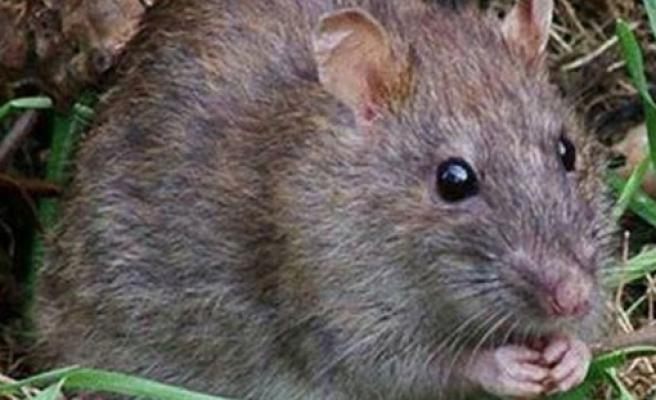 Tarım Dairesi fare mücadelesi konusunda açıklama yaptı