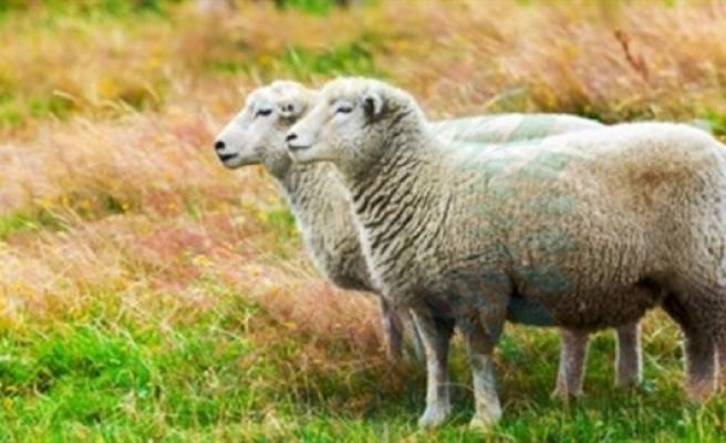 Küçükbaş hayvan üreticileri için son beyan tarihi 31 Aralık