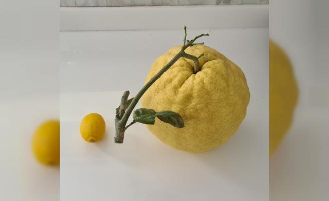 2 kilo 192 gramlık dev limon açık arttırmayla satılıyor