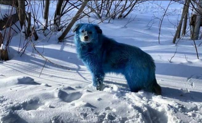 Köpekler maviye döndü: Nedeni kimyasal atık fabrikası mı?