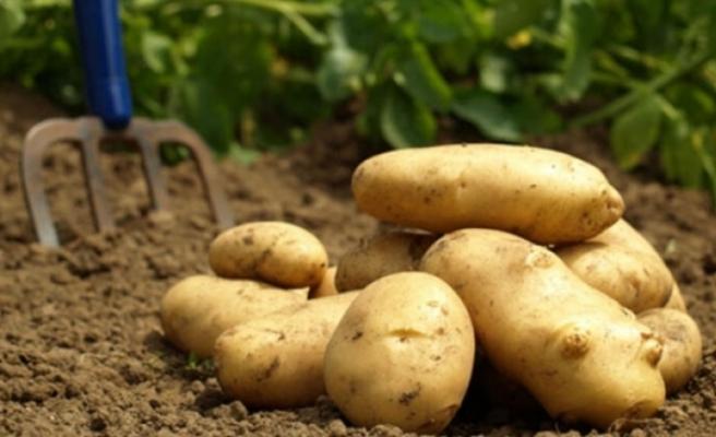 Sofralık patates ihracatına 40 kuruş destek