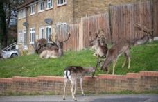 Corona virüs nedeniyle boş kalan Londra sokaklarını bu kez geyikler bastı