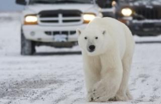 Rusya'da kutup ayıları şehre indi, acil durum...