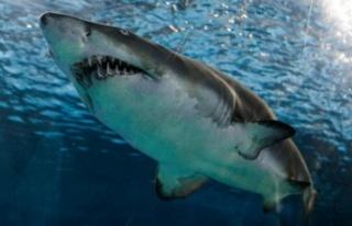 Avustralyalı sörfçü eşini kurtarmak için köpekbalığını...