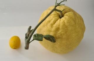 2 kilo 192 gramlık dev limon açık arttırmayla...