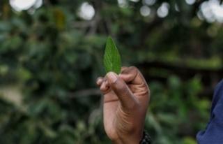 Corona'ya karşı umut bağlanan bitki