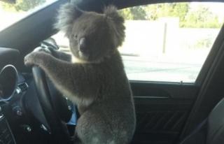 Zincirleme trafik kazasına neden olan koala yakalandı