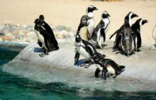 Güney Afrika'da 63 penguen arı saldırısında...