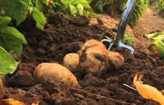 İlkbahar patates ekim arazisi beyanında yarın son...