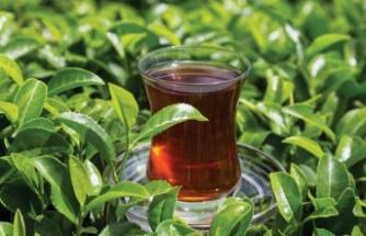 KKTC çay tiryakisi oldu