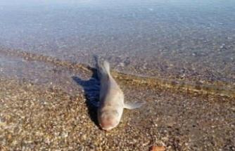Kıbrıs'ta ölü köpek balığı sahile vurdu