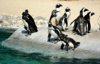 Güney Afrika'da 63 penguen arı saldırısında öldü!