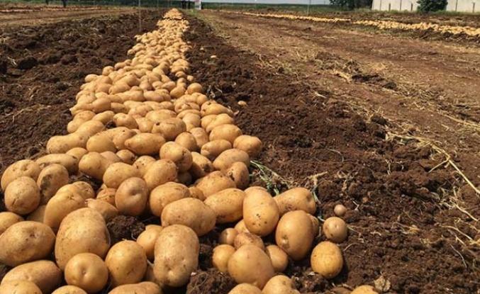 Patatese 25 kuruş indirim geldi!